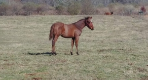 Gorgeous PA Bred Weanling Filly